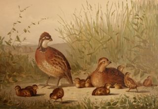 Upland Game Birds and Water Fowl of the United States. Alexander Pope